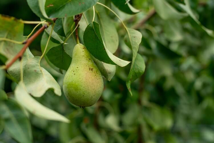 podas de arboles frutales Objetivos De La Poda De Rboles Rimesa