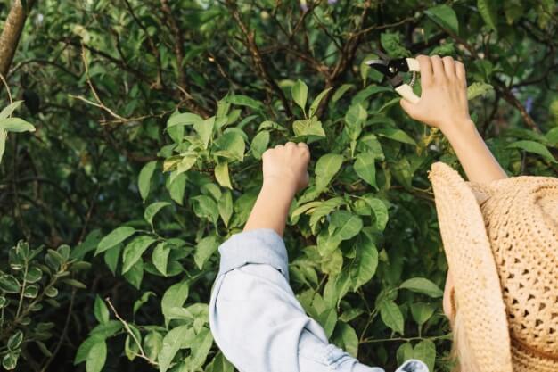 objetivos de la poda en frutales